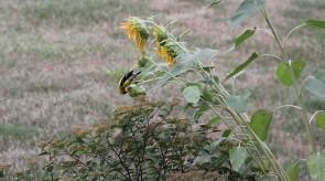 goldfinch_on_sunflower.jpg