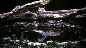 white_tiger.jpg